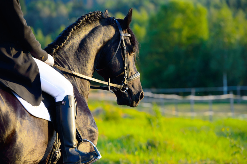 Black Friesian horse in the sunset with rider